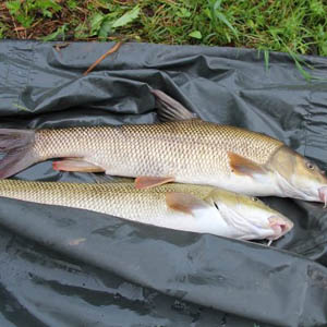 A brace of cracking Rover Lot barbel