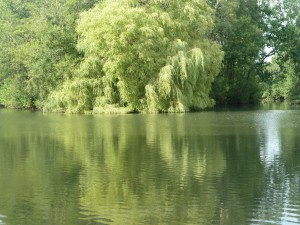 The willow - a proper carpy spot!